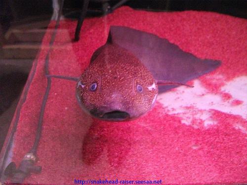 プロトプテルスアンフィビウス(肺魚)